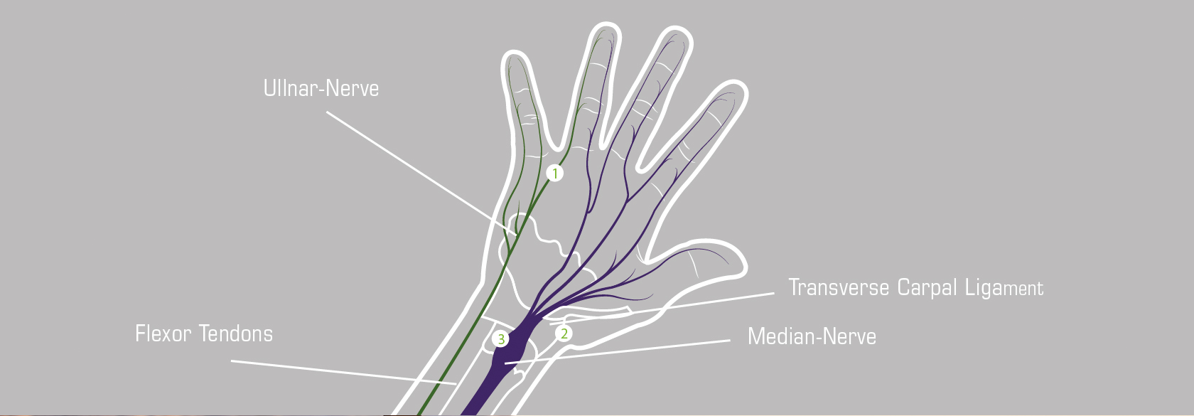 Anatomy of the hand – Chiba